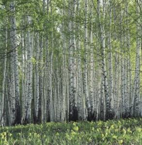 %D0%B2%D0%B5%D1%81%D0%B5%D0%BD%D0%BD%D0%B8%D0%B9 %D0%BB%D0%B5%D1%81 293x300 Я в весеннем лесу